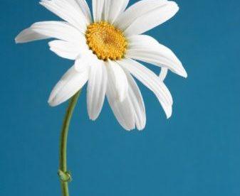أجمل صور وردة بيضاء في العالم - صور ورد
