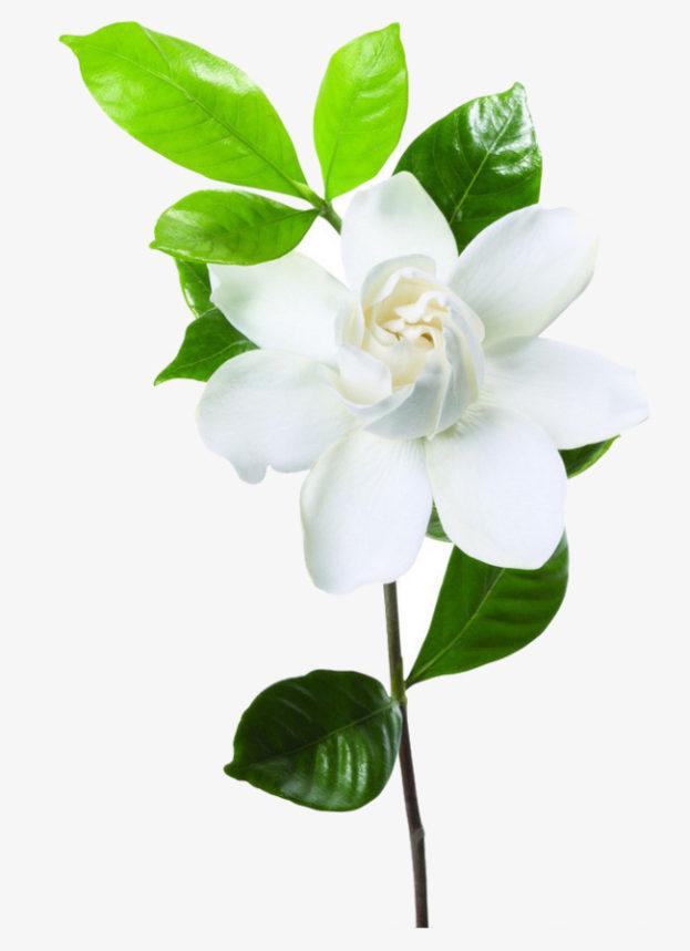 أروع صور زهرة الياسمين-صور ورد