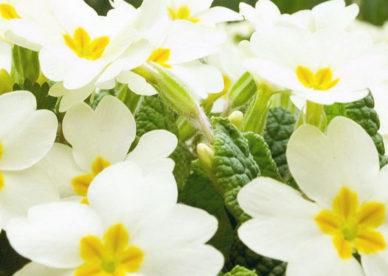 أحلى صور أزهار الياسمين-صور ورد