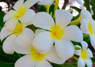 أجمل صور زهرة الياسمين Jasmine Flower Pictures- صور ورد