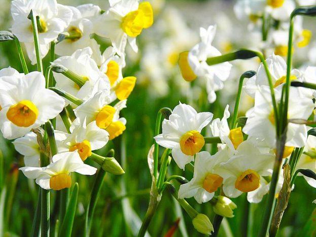 زهرة النرجس في صور جديدة-صور ورد