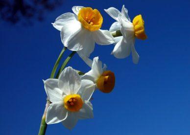 صور وردة النرجس حلوة-صور ورد