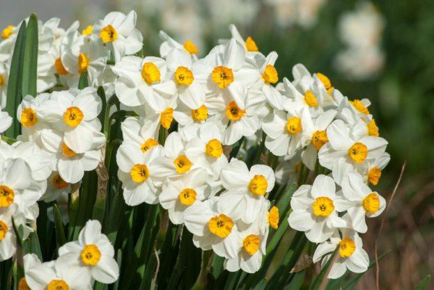 صور أزهار النرجس الجميلة-صور ورد