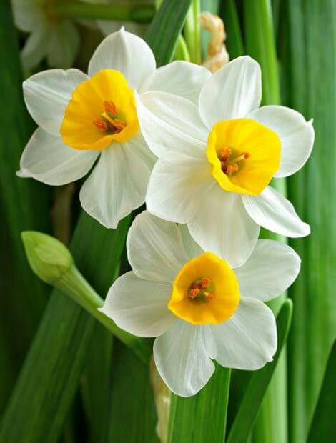 أجمل الصور لزهرة النرجس-صور ورد