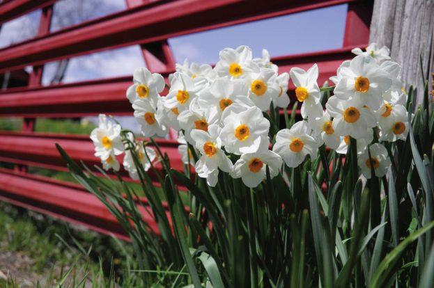 أجمل صور زهرة النرجس Narcissus Flower Pictures-صور ورد