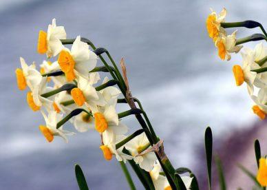 أجدد صور زهرة النرجس-صور ورد