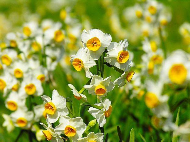 أروع صور زهرة النرجس-صور رورد